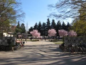 錦町公園の桜